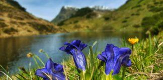 Enzian beim Zeinissee, Mogasi